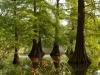 Szarvas Mocsári Ciprusok A Volt Bolza Kast.Parkban
