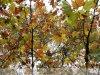 Gerla - Óriás platán, az év fája verseny 4. helyezett
