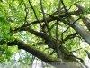 Gyula - Mályvádi erdő, kizöldült Őstölgyes 2021. május