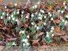 Gyulán tavasz van - Hóvirág január 30-án.