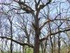 Mályvádi - erdő, Őstölgyes