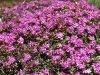 Radnai – Havasok, Rododendron és a Kárpáti gyapot.