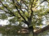 Kenderes - Horthy-kastély óriás iker tölgyei